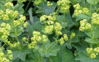 Трава измаген показания к применению, лечебные свойства, отзывы