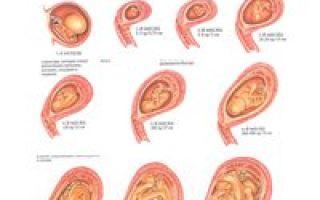 Развитие эмбрионов после переноса по дням после эко