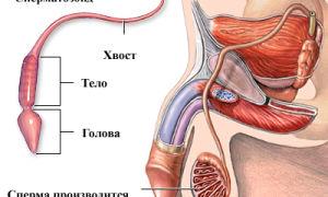 Процесс выделения спермы