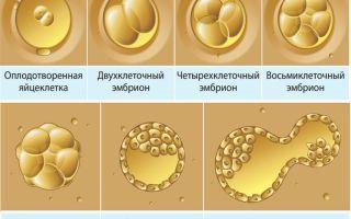 Имплантация трехдневных эмбрионов при ЭКО