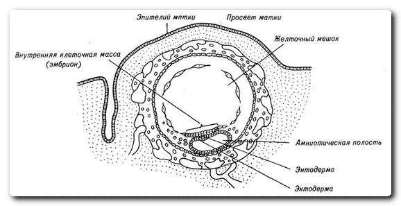 Базальная температура во время периода имплантации эмбриона