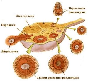 Мультифолликулярные яичники